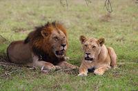 Löwenpaar Auf einer Wiese
