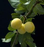 Mirabellen, Prunus domestica subsp. Syriaca