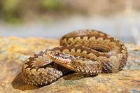 european toxic snake