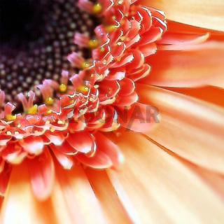 Gerbera Blüten Makro mit Strichzeichnung