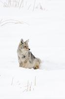 im Schnee sitzend... Kojote *Canis latrans*