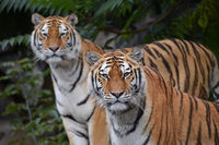 Close up portrait of two Amur tigers