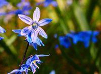 blue star scilla siberica on meadow