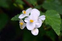 Kubanische Begonie (Begonia cubensis), Vorkommen Mittelamerika