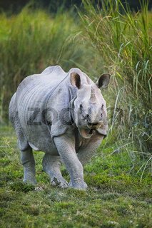 Indian One Horned Rhinoceros, Rhinoceros unicornis