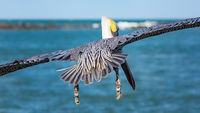 A Pelican Flying Away from the Camera
