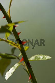 Rosendornen