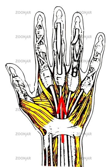 Foto Anatomie der menschlichen Hand farbig Bild #2477088