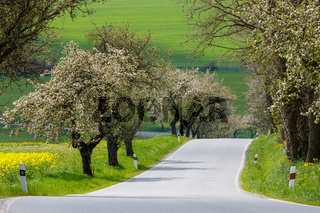 spring road with alley of cherry in bloom