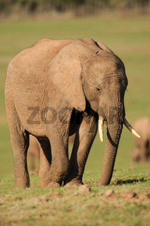 Youngster Elephant - Elefant Junges - Addo Elephant National Park - South Africa