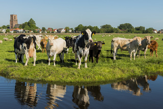 Ransdorp with Many Cows and Ditch