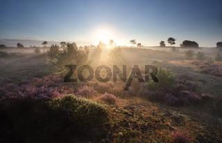 misty summer sunrise over flowering heather