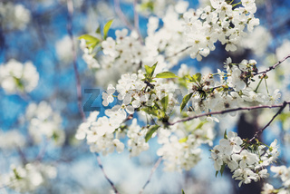 Flowers of blossom tree