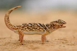 Giant ground gecko