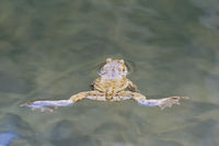 Common toad (Bufo bufo) swin in a pond level