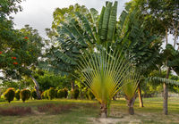 Beautiful plant Ravenala in tropical park