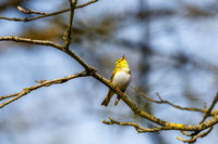 Singing Wood Warbler in the woodland at springtime