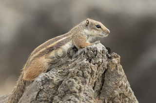 Barbary ground squirrel (atlantoxerus getulus)