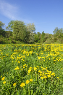 Dandelion meadow in a valley at spring