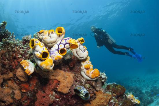 Gold-Seescheiden am Riff, Indonesien