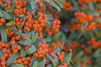 Zwergmispel - immergrüne Pflanze im Herbst