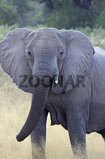 Afrikanischer Elefant (Loxodonta africana) im Moremi Wildreservat Botswana