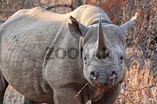 Vom Aussterben bedrohtes Spitzmaulnashorn, Südafrika, black rhinoceros, South Africa