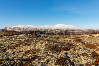 Moss and lichen with winter mountains in the background in Dovre, Norway.