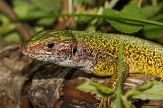 Smaragdeidechse, Lacerta viridis, European green lizard