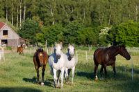 beautiful herd of horses in farm