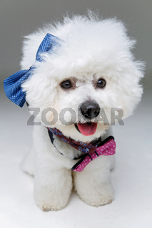 beautiful bichon frisee dog in bowties