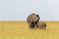 Elephants with calf in the grass of the the savanna