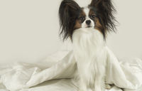 Dog Papillon crawls out from under the blankets and jumps off bed
