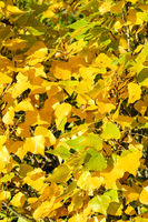 Autumn poplar leaves