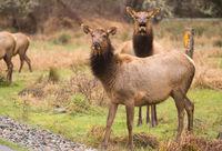 Female Elk Weathering the Rain Northern California
