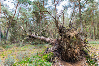 Blown and fallen pine tree in dutch forest