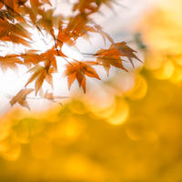 autumn leaves with sun rays, very shallow focus