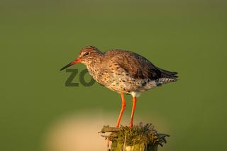 Rotschenkel, Holland, Tringa totanuscommon, Common Redshank, Netherlandes