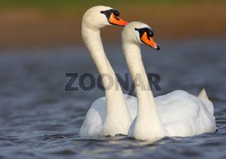 Hoeckerschwan, Cygnus olor, Mute swan