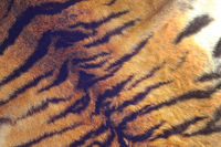 fur of a tiger with detail on black stripes