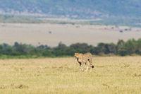 Cheetah walking in the savanna landscape