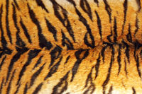 detail of tiger stripes on wild animal leather