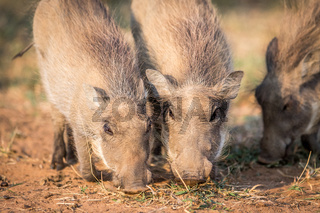 Close up of a group of eating Warthogs.