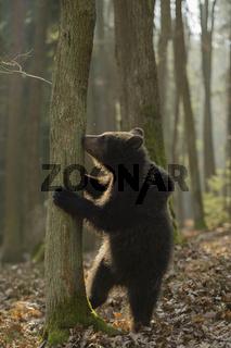 Winnie Pu... Europäischer Braunbär *Ursus arctos*