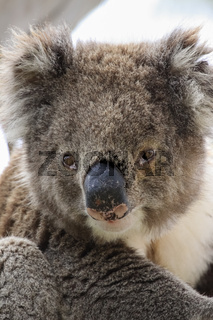 Portrait of a Koala sitting on a branch of  an eucalyptus tree, facing, Great Otway National Park, V