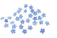 Blüten von Vergissmeinnicht, freigestellt