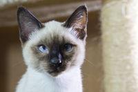 sleek haired kitten Siamese type (Mekong bobtail