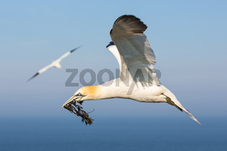 Northern gannet collecting kelp to build a nest at Helgoland