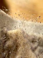 Köpfchenschimmel (Mucor), Lebensmittelschimmelpilz auf verdorbenem Frischkäse
