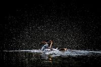 Bathing Hooded Merganser